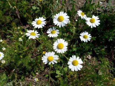 Matricaria chamomilla_©Á la bonne herbe_400x300